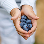 Hands of child with ripe blueberries